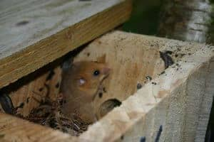 dormouse-box