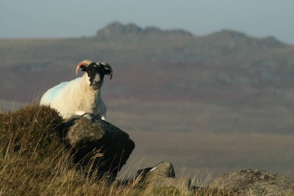 woolly-local-belstone-tors-my-family-and-other-animalsjst