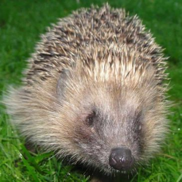 When did YOU last see a hedgehog?