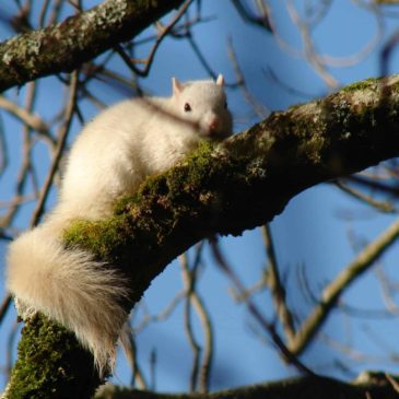 White Squirrel in Belstone