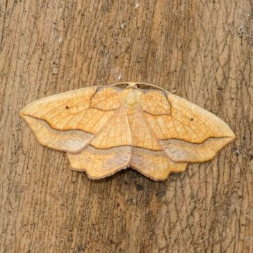 Magical Moths Event – Belstone – 24th July