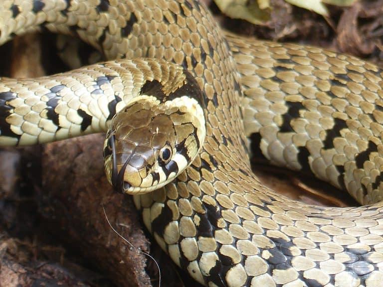 Grass Snakes in Belstone